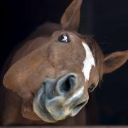 Bauer erwischt Perversen beim Pferdesex im Stall (Foto)