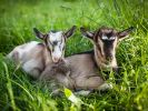 Neugeborene Ziegen haben für gewöhnlich einen Kopf und zwei Augen - nicht so jedoch ein Exemplar aus Pakistan (Symbolfoto). (Foto)