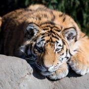 Tiger zerfleischt und frisst Zoowärter (Foto)
