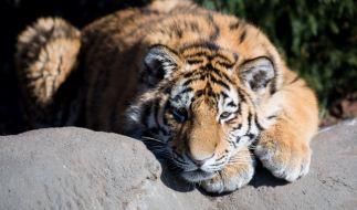 Ein Tiger hat in einem Zoo in China einen Tierpfleger angefallen und tödlich verletzt (Symbolbild). (Foto)