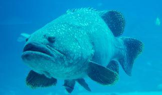 Ein Wrackbarsch mit 62 Kilogramm Gewicht ging einer Anglerin vor der Küste Australiens ins Netz. (Foto)