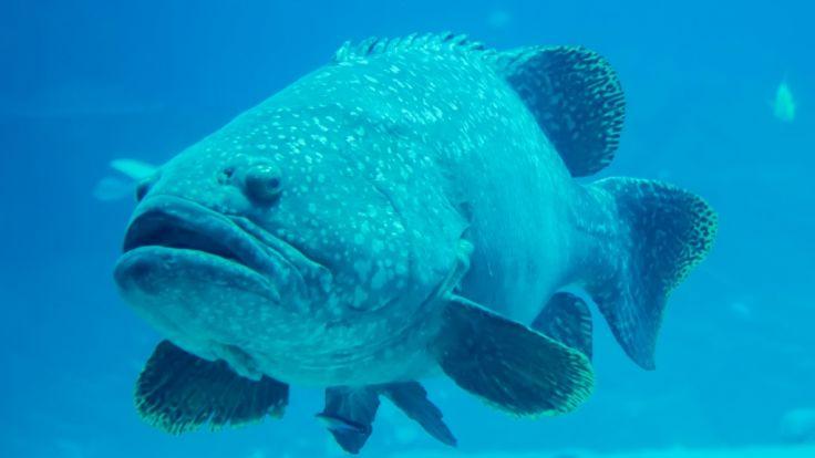 Ein Wrackbarsch mit 62 Kilogramm Gewicht ging einer Anglerin vor der Küste Australiens ins Netz.