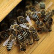 Bienen-Akupunktur kostet Frau (55) das Leben (Foto)