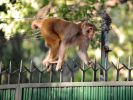 Ein Affe hat in Indien einen Säugling entführt und sterben lassen. (Symbolbild) (Foto)