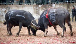 Immer wieder enden Stierkämpfe tödlich. (Symbolbild) (Foto)