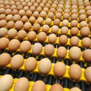 Riesen-Schwindel! Bio-Eier im Supermarkt gar nicht Bio (Foto)