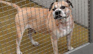 Staffordshire-Terrier-Mischling Chico steht in einem Gehege im Tierheim Hannover. (Foto)