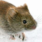 Vorsicht vor Mäusekot! Hantavirus weiter auf dem Vormarsch (Foto)
