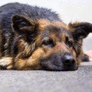 Gefährlicher Virus! DAS sollten Hundehalter beachten (Foto)