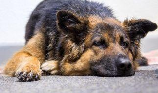 Für Hunde kann das Staupe-Virus sehr gefährlich werden. (Foto)