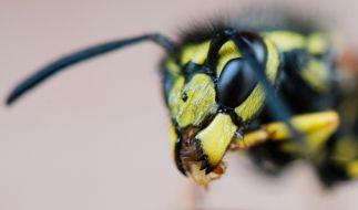 Wespen zu töten, ist nur unter bestimmten Umständen erlaubt. (Foto)