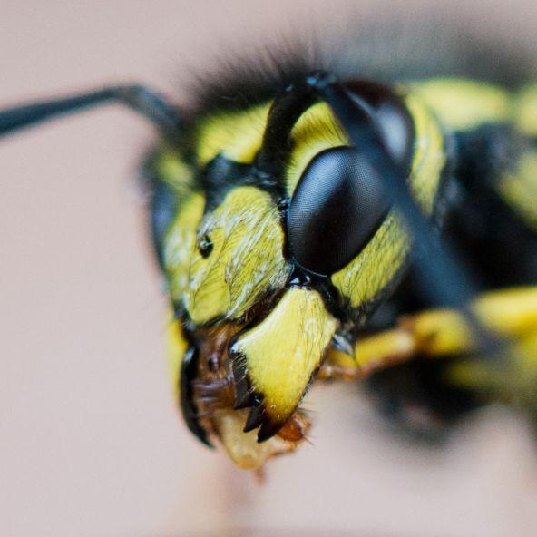 10.000 Euro Bußgeld! DIESE Insekten zu töten, ist strafbar (Foto)