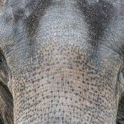 Elefant verhungert qualvoll, weil Besitzer ihn bestrafen wollte (Foto)