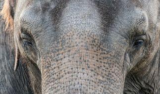 In Kambodscha musste ein Elefant qualvoll verhungern (Symbolbild). (Foto)