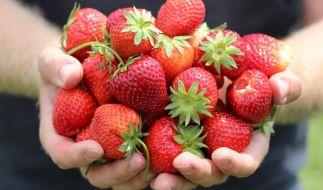Viele schon jetzt beim Discounter erhältliche Erdbeeren sind mit Pestiziden belastet. (Foto)