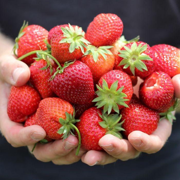 Total belastet! Gefährliche Gifte in Discounter-Erdbeeren (Foto)