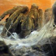 Supermarkt wegen Spinne stundenlang geschlossen (Foto)