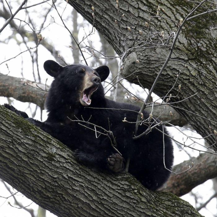 Blöde Idee! Bären-Selfie kostet Mann das Leben (Foto)