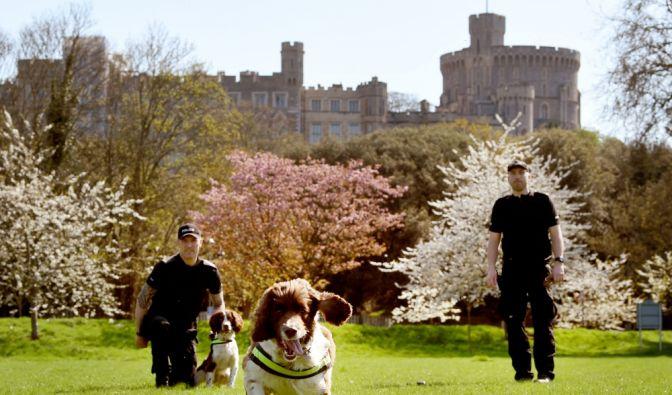 Harry hat auch die Vierbeiner auf seiner Seite: Spürhunde patrouillieren das Gelände und sichern Windsor Castle für die Hochzeit ab.