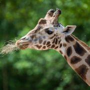 Giraffe erschlägt Kameramann (Foto)