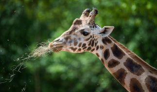 Giraffen hatte man bislang nicht als gefährlich auf der Agenda. Der tödliche Unfall des Kameramannes Carlos Carvalho belegt allerdings die Gefährlichkeit der großen Tiere. (Symbolbild) (Foto)