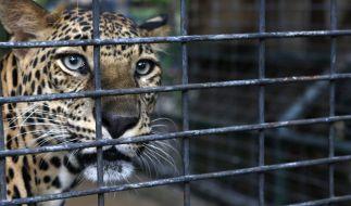 Ein Leopard hat in einem Nationalpark in Uganda einen kleinen Jungen getötet (Symbolbild). (Foto)