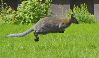 In einem US-Zoo biss ein Känguruh einem kleinen Mädchen in den Kopf. (Symbolbild) (Foto)