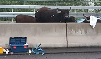 Fünf Wasserbüffel sorgten für Chaos auf der A3. (Foto)