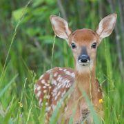 Irre! Bambi mit zwei Köpfen entdeckt (Foto)