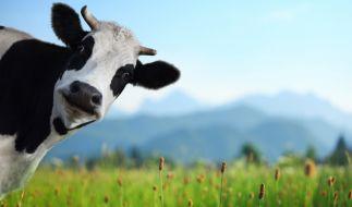 In Cuxhaven ist eine Kuh in einen Pool gestürzt. (Foto)
