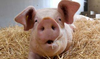 Bei YouTube macht ein mutmaßliches Mutanten-Schwein die Runde. (Foto)