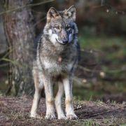 Bigfoot oder Werwolf? Was ist DIESE Kreatur? (Foto)