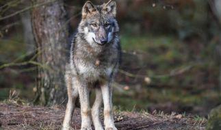 Um seine Vieherde zu schützen, erlegte ein Farmer einen vermeintlichen Wolf. Doch das Tier gehört zu keiner bisher bekannten Gattung. (Symbolfoto) (Foto)