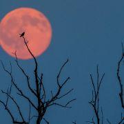Zauberhaft! Strahlender Erdbeermond funkelt am Nachthimmel (Foto)