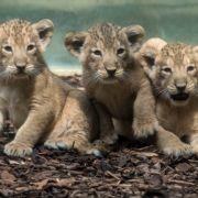 Die drei kleinen Baby-Löwen haben im Zoo Frankfurt ihre öffentliche Premiere gefeiert.