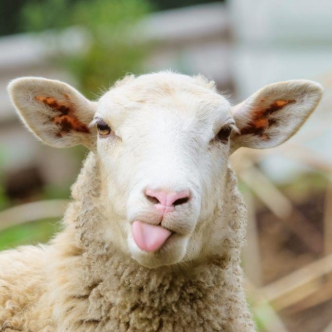 Mini-Schafskälte! Jetzt stürzen die Temperaturen ab (Foto)