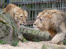 Großkatzen fliehen aus Zoo in Lünebach