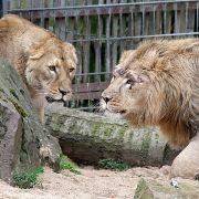 Kreisstadt-Dschungel! Löwen, Tiger und Jaguar auf freiem Fuß (Foto)