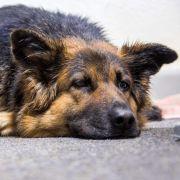 Herzlos! Hunde-Mama kurz nach Geburt eingeschläfert (Foto)
