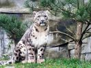 Schneeleopard Sagar kommt aus dem Saarland und wird das neue Tier-Orakel zur Fußball-WM 2018. (Foto)