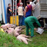 Schweine-Laster kippt um - fast 20 Tiere getötet (Foto)