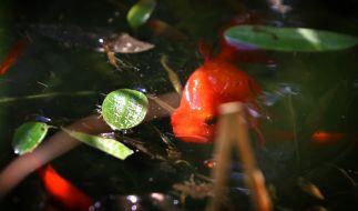Diese Spezies - ein Goldfisch - kommt Ihnen vielleicht bekannt vor, doch was ein chinesischer Angler entdeckte, haben Sie noch nie gesehen. (Foto)