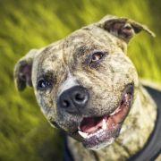 Pitbulls sind loyale, familienorientierte Hunde. Sasha aus Kalifornien hat das bestätigt. (Symbolfoto)