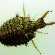 DIESES Dämonen-Insekt verursacht Panik (Foto)