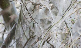 Gefräßig und mit schmerzenden Härchen versehen dringen die Eichenprozessionsspinner in immer mehr Gebiete vor. (Foto)
