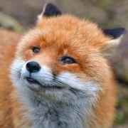 Frau (22) von Fuchs angegriffen und zerfleischt (Foto)