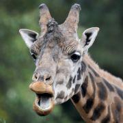 Brutale Großwildjagd! US-Amerikanerin tötet Giraffe (Foto)