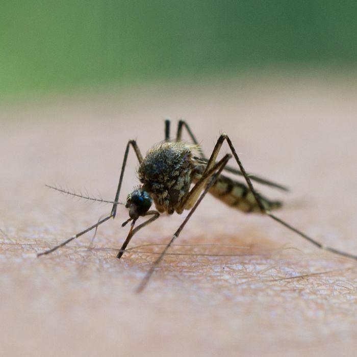 Passen Sie auf! DIESE Krankheiten übertragen Mücken (Foto)