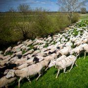Hilflos in der Hitze! Schafe verdursten in der prallen Sonne (Foto)