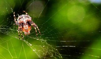 Kreuzspinnen sind giftig, allerdings gibt es noch viel gefährlichere Tiere in Deutschland. (Foto)